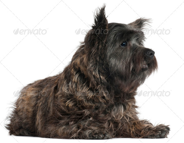 Cairn Terrier, 8 months old, lying in front of white background - Stock Photo - Images