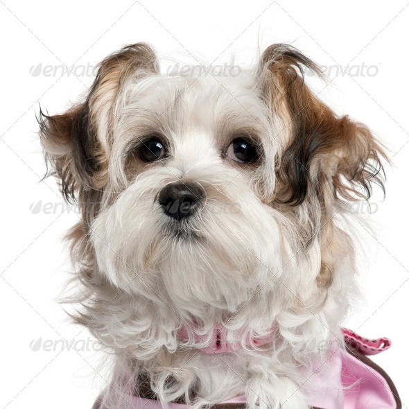Close-up of Mixed-breed puppy, 5 months old, in front of white background - Stock Photo - Images