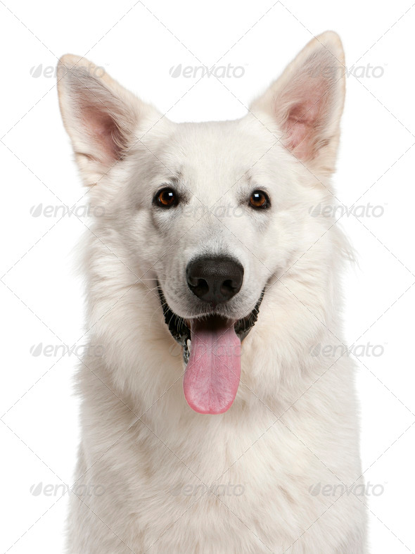 Close-up of Canadian Shepherd dog, 1 year old, in front of white background - Stock Photo - Images