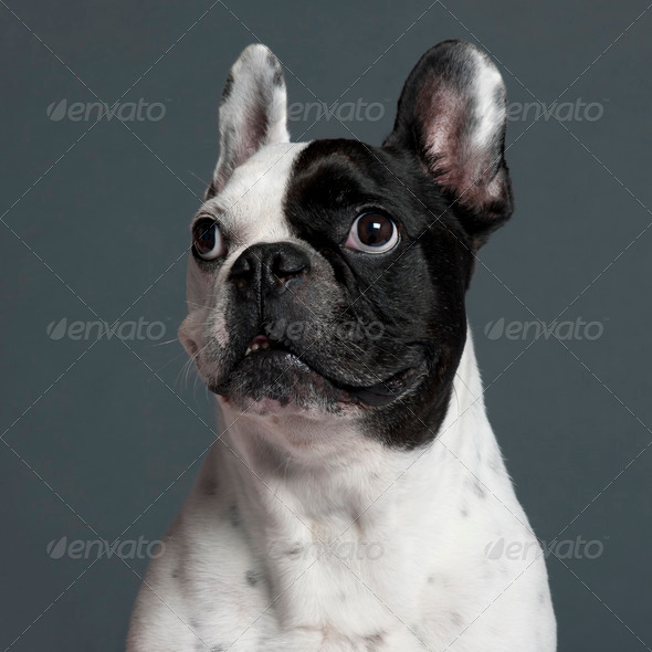 French Bulldog (9 years old) - Stock Photo - Images