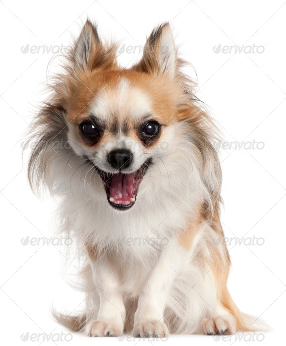 Chihuahua, 18 months old, yawning in front of white background - Stock Photo - Images