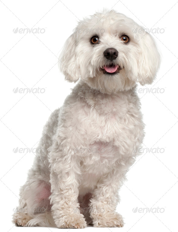 Maltese, 2 years old, sitting in front of white background - Stock Photo - Images