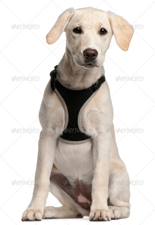 Labrador Retriever puppy, 16 weeks old, sitting in front of white background - Stock Photo - Images