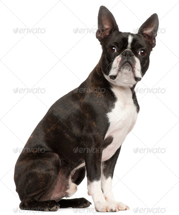Boston Terrier, 1 year old, sitting in front of white background - Stock Photo - Images