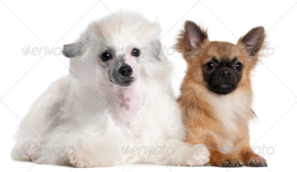 Chihuahua, 1 year old, and Chinese Crested Dog, 1 year old, lying in front of white background - Stock Photo - Images