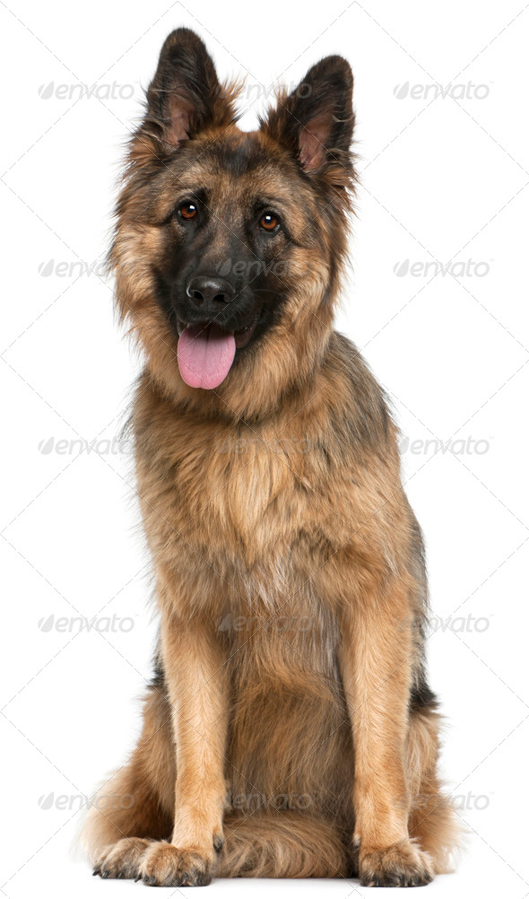 German Shepherd Dog, 21 months old, sitting in front of white background - Stock Photo - Images