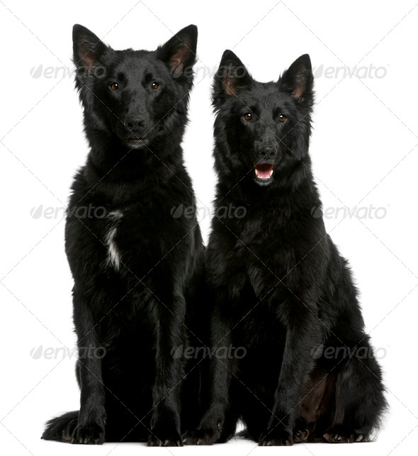 Greenland Dogs, 1 year old, sitting in front of white background - Stock Photo - Images