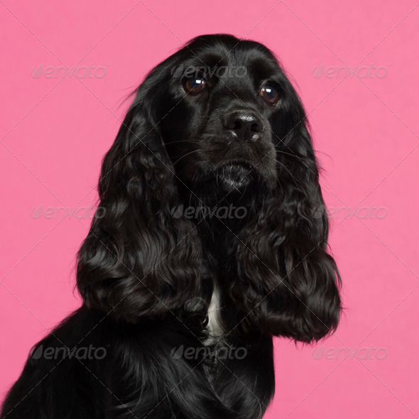 English Cocker Spaniel - Stock Photo - Images