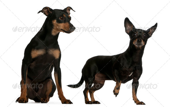 Miniature Pinscher, 7  years old, and German Pinscher, 4 years old, in front of white background - Stock Photo - Images