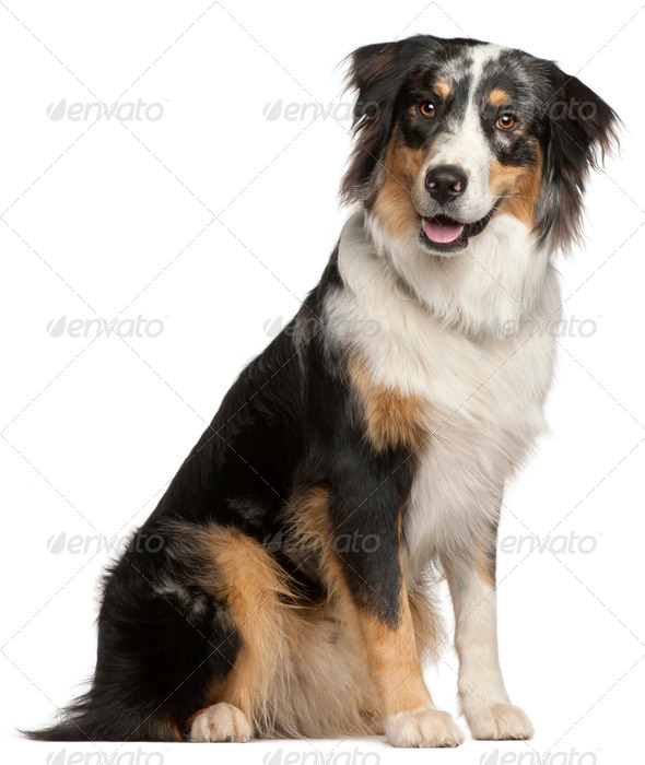 Border Collie, 9 months old, sitting in front of white background - Stock Photo - Images