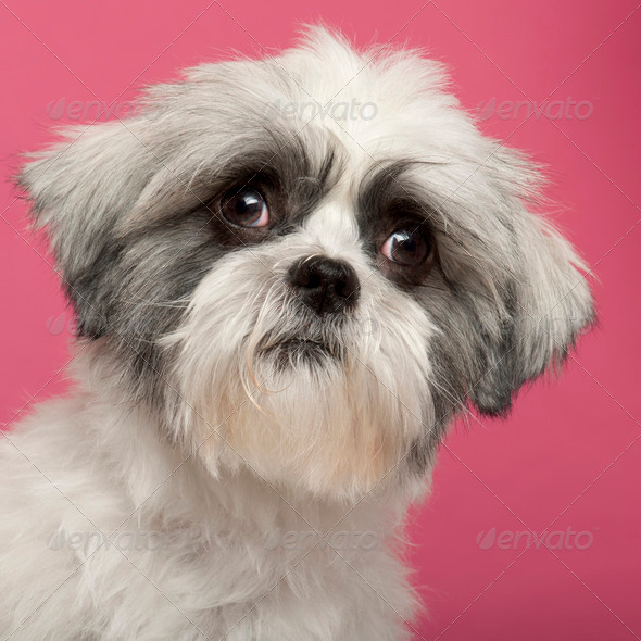 Close-up of Mixed-breed dog, 1 year old, in front of pink background - Stock Photo - Images