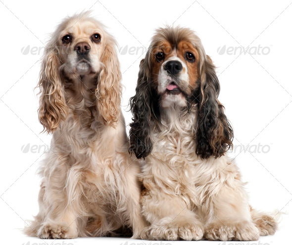 Two American Cocker Spaniels, 1 and 2 years old, in front of white background - Stock Photo - Images