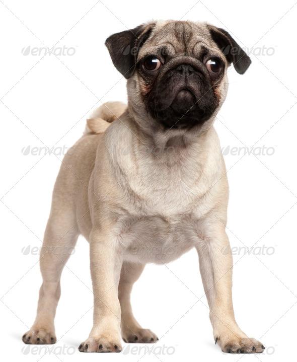 Pug puppy, 3 months old, standing in front of white background - Stock Photo - Images