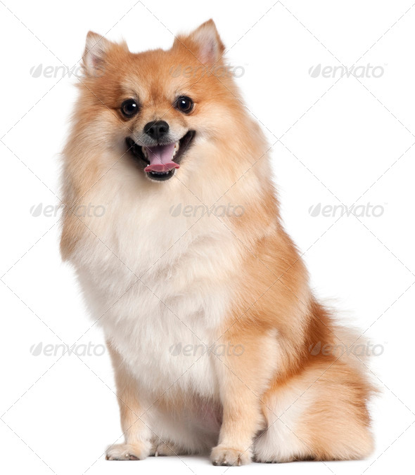 Spitz sitting in front of white background - Stock Photo - Images