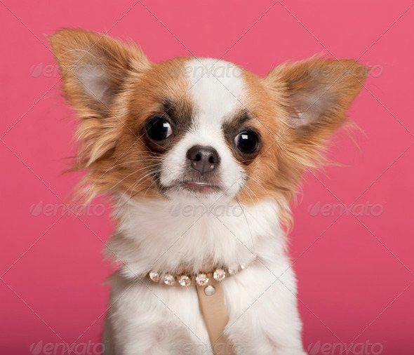 Chihuahua (7 months old) - Stock Photo - Images