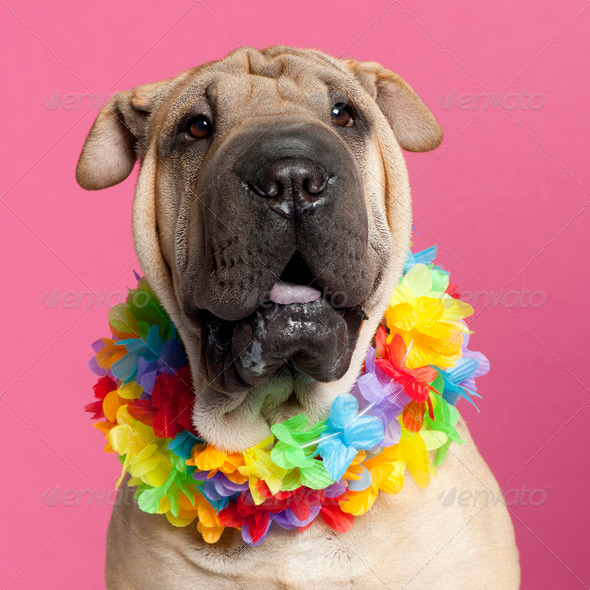 Shar-peï - Stock Photo - Images