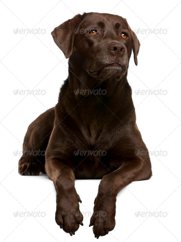Chocolate Labrador, 4 years old, lying in front of white background - Stock Photo - Images
