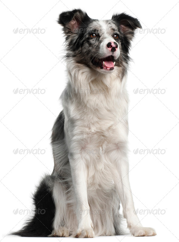 Border Collie, 11 months old, sitting in front of white background - Stock Photo - Images