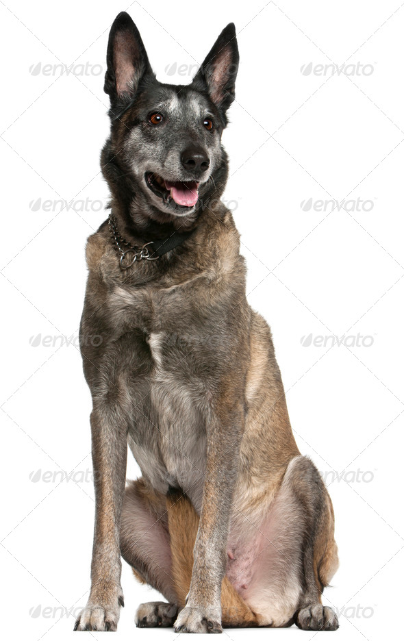 Belgian Shepherd Dog, Malinois, 13 years old, sitting in front of white background - Stock Photo - Images