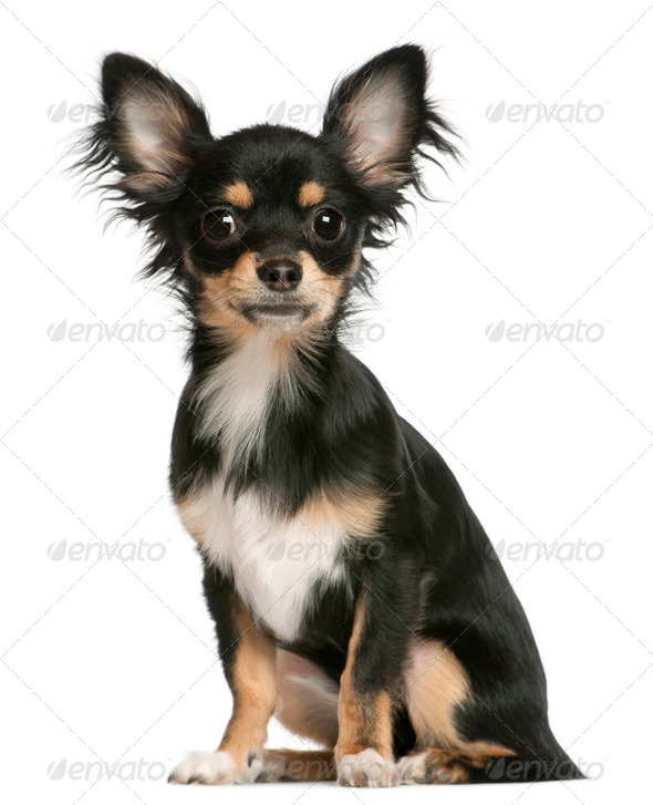 Chihuahua puppy, 6 months old, sitting in front of white background - Stock Photo - Images