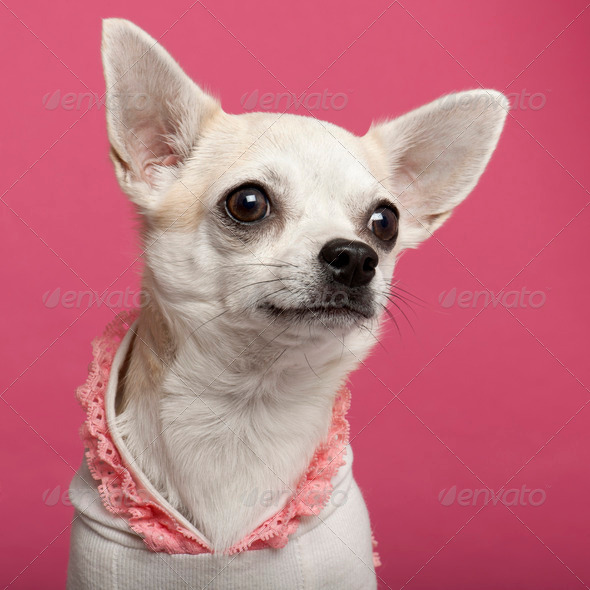 Close-up of Chihuahua wearing pink laced shirt in front of pink background - Stock Photo - Images