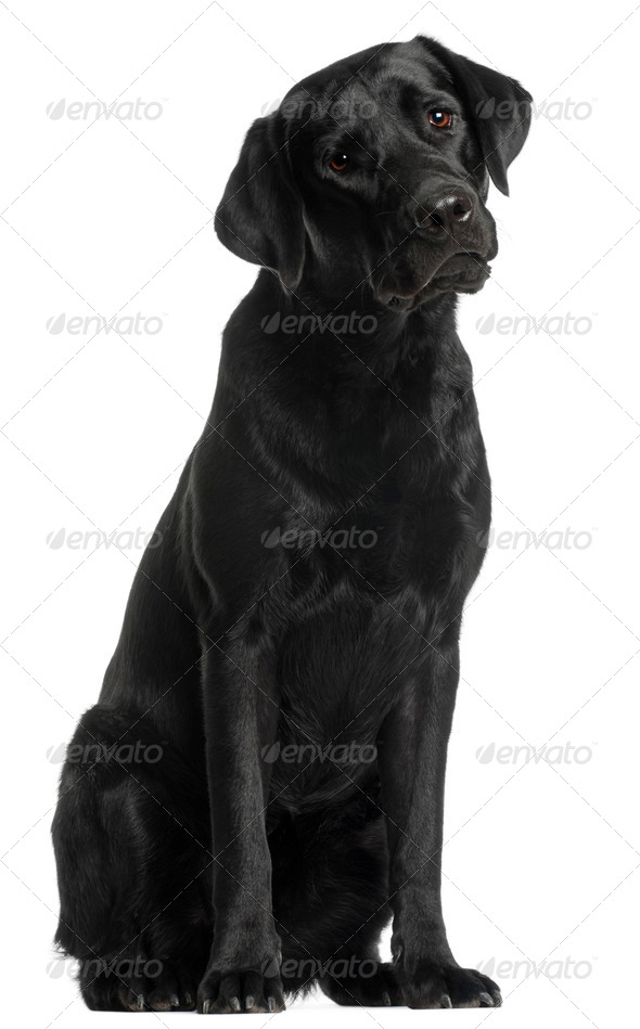 Labrador Retriever, 10 months old, sitting in front of white background - Stock Photo - Images
