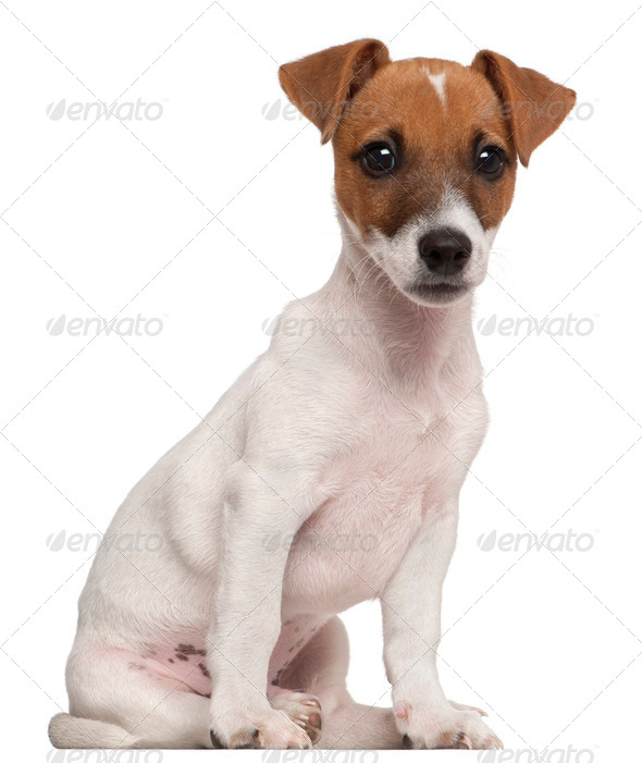 Jack Russell Terrier puppy, 3 months old, sitting in front of white background - Stock Photo - Images