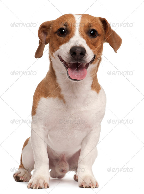 Jack Russell Terrier, 1 year old, sitting in front of white background - Stock Photo - Images