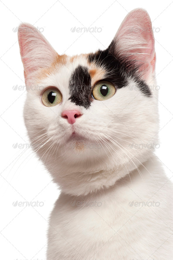 Close-up of Mixed-breed cat, 2 years old, in front of white background - Stock Photo - Images