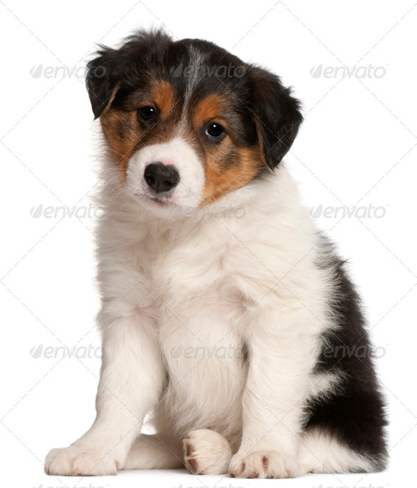 Border Collie puppy, 6 weeks old, sitting in front of white background - Stock Photo - Images