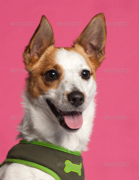 Jack Russell Terrier - Stock Photo - Images