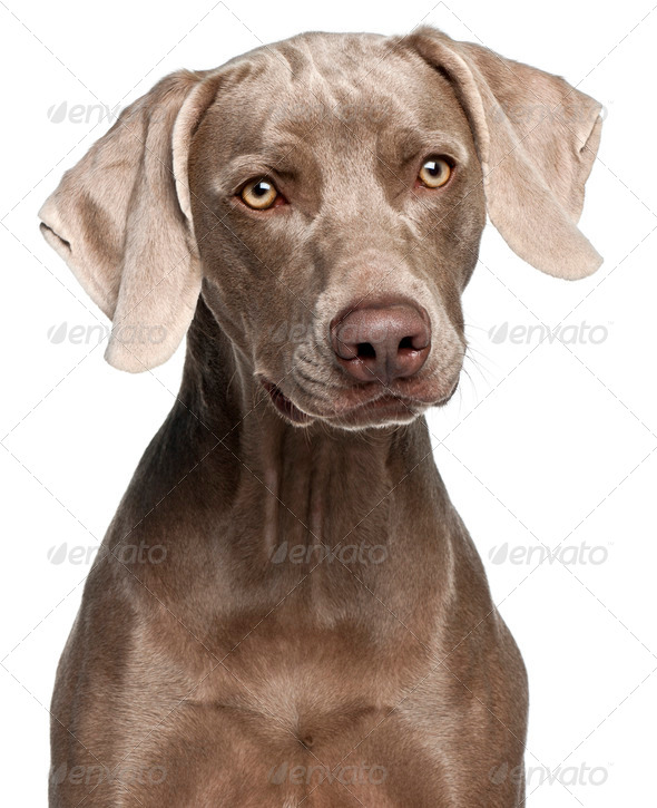 Close-up of Weimaraner, 12 months old, in front of white background - Stock Photo - Images