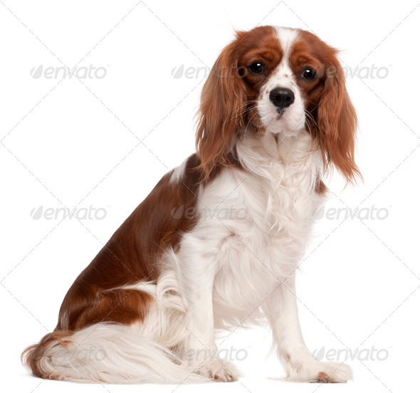 Cavalier King Charles Spaniel, 1 year old, sitting in front of white background - Stock Photo - Images