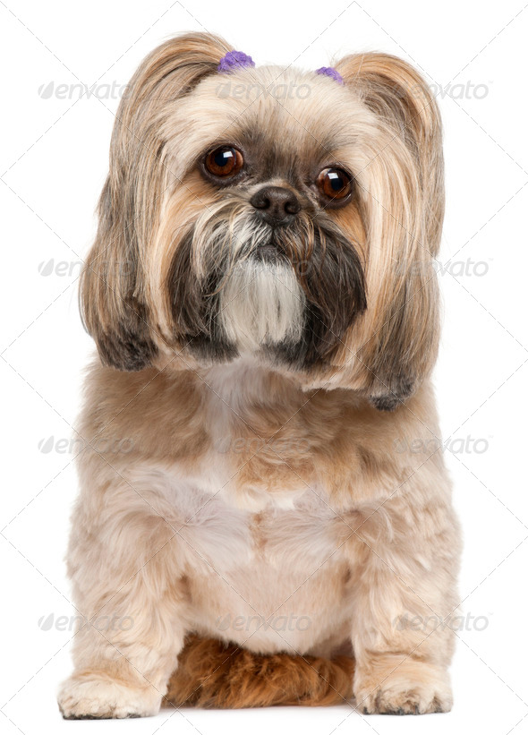 Shih Tzu, 6 years old, sitting in front of white background - Stock Photo - Images