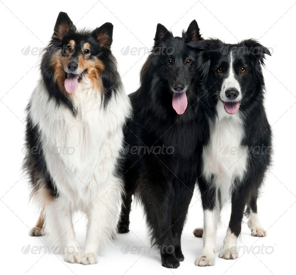 Collies standing in front of white background - Stock Photo - Images