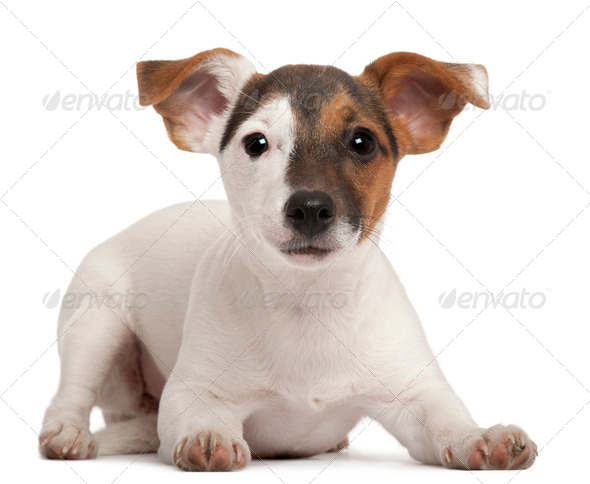 Jack Russell Terrier puppy, 5 months old, lying in front of white background - Stock Photo - Images