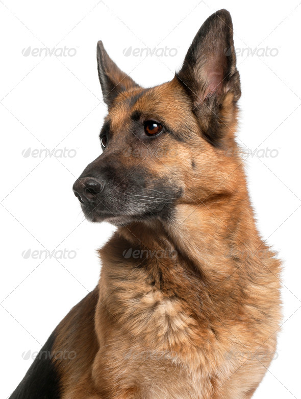Close-up of German Shepherd Dog, 10 years old, in front of white background - Stock Photo - Images