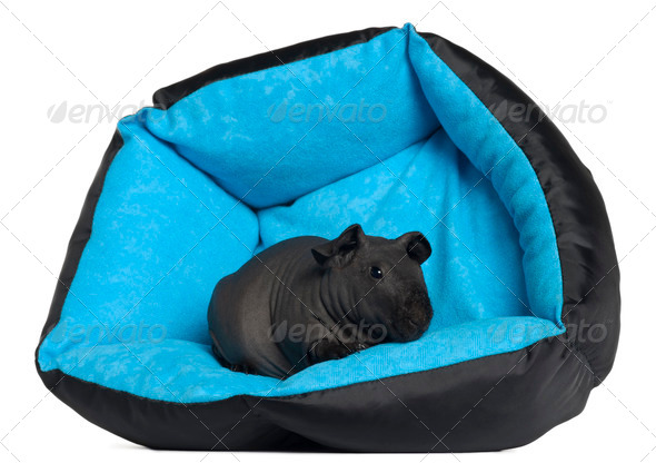 Black guinea pig, 3 months old, in blue dog pillow in front of white background - Stock Photo - Images