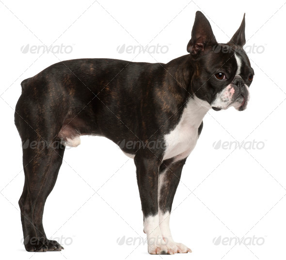 Boston Terrier, 1 year old, standing in front of white background - Stock Photo - Images