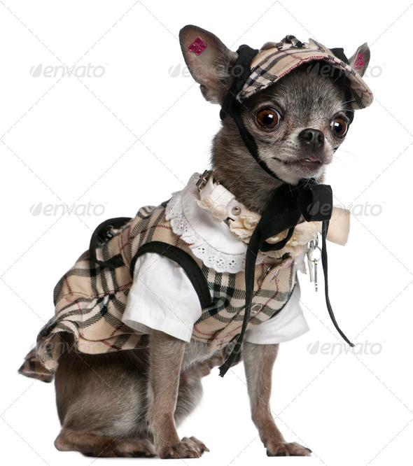 Chihuahua dressed in plaid outfit sitting in front of white background - Stock Photo - Images