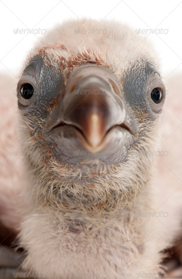Close-up of Griffon Vulture, Gyps fulvus, 4 days old, in front of white background - Stock Photo - Images