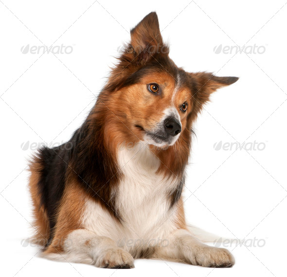 Male Border Collie, 3 years old, lying in front of white background - Stock Photo - Images