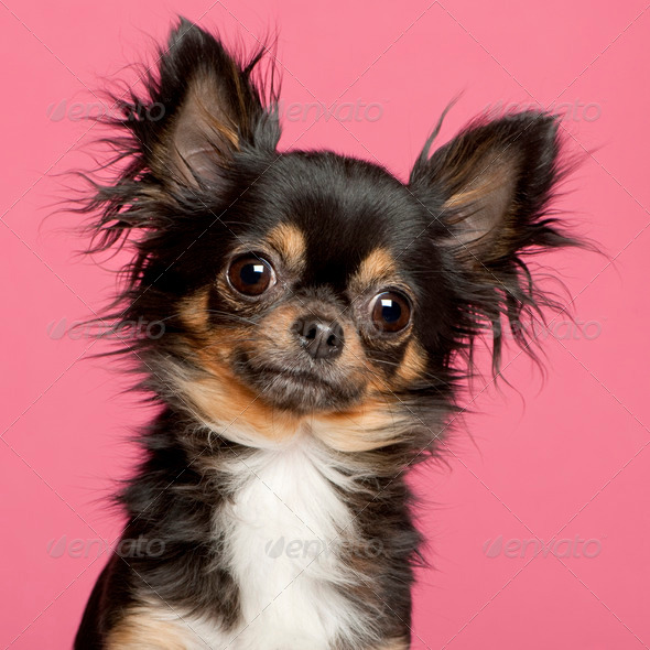 Chihuahua (2 years old) - Stock Photo - Images