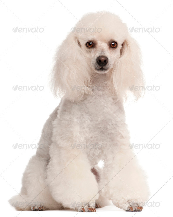 Poodle, 2 years old, sitting in front of white background - Stock Photo - Images