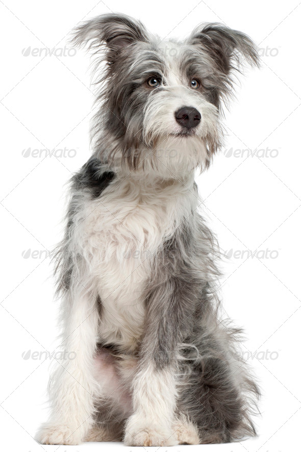 Mixed-breed dog, 7 months old, sitting in front of white background - Stock Photo - Images