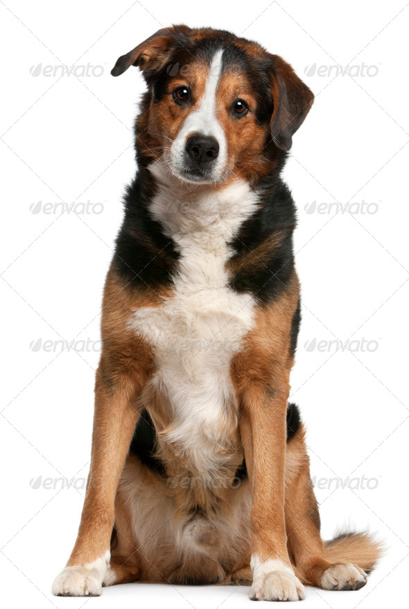 Mix Hybrid dog, 10 years old, sitting in front of white background - Stock Photo - Images