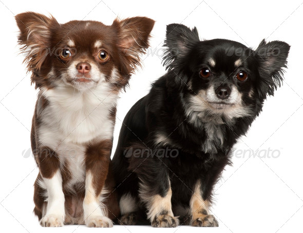 Chihuahuas, 1  and 2 years old, in front of white background - Stock Photo - Images