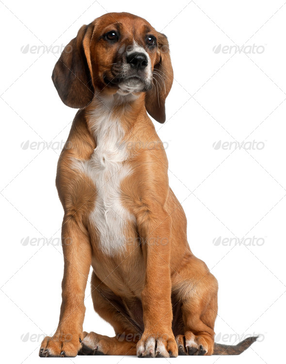 Mixed-breed puppy, 12 weeks old, sitting in front of white background - Stock Photo - Images