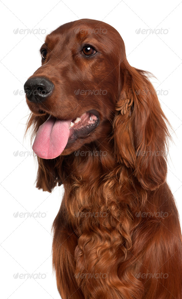 Close-up of Irish Setter, 1 year old, in front of white background - Stock Photo - Images