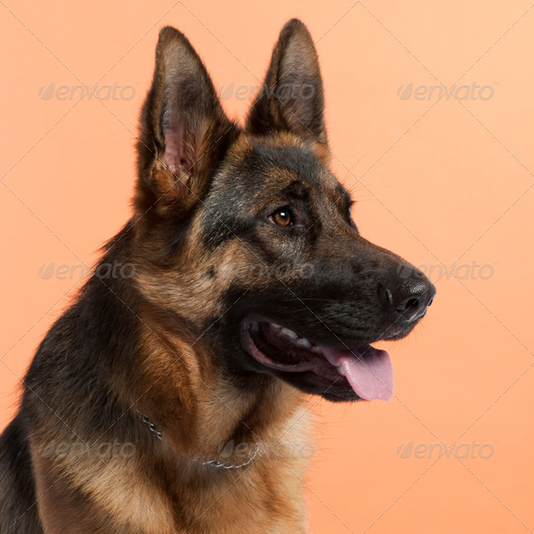 German Shepherd Dog (10 months old) - Stock Photo - Images
